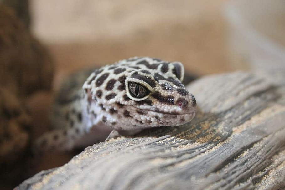Be Careful from the Tokay Gecko! It bites